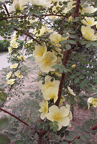 RosaXanthina5