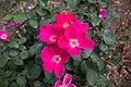Rosa 'Pink -Home -Run' IMG 0191.jpg