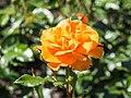 Rosa 'Westzeit' (d.j.b) 01.jpg