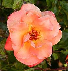 Rosa Apricot Nectar.jpg