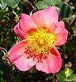 Rosa Lady Penzance 1.jpg