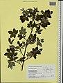 Rosa majalis herbarium (05).jpg