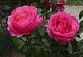 Rosarium Baden Rosa 'Cherry Lady' Kordes 2002 02.jpg