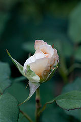 Rose, Apricot Nectar - Flickr - nekonomania (1).jpg