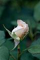 Rose, Apricot Nectar - Flickr - nekonomania (1).jpg