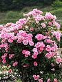 Rose, Carefree Wonder, バラ, ケアフリー ワンダー, (13183655855).jpg