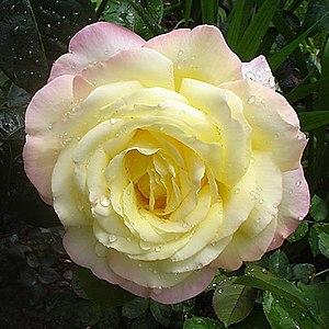 Rosa Peace - Image: Rose.A.Mailend 1
