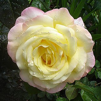 Meilland International SA - Image: Rose.A.Mailend 1