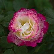 Rose Double Delight (8262).jpg