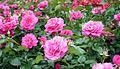 Rose Manou Meilland マヌウ メイアン (4950639639).jpg
