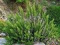 Rosmarinus officinalis 0001.JPG