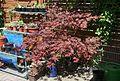 Roter Fächerahorn (Acer palmatum) (8844948486).jpg