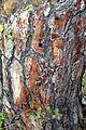Rotföhre, Pressbaum 09.jpg