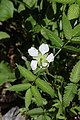 Rubus illecebrosus (flower s12).jpg