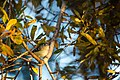 Ruby-crowned kinglet (39227576971).jpg