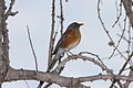 Rufous-backed Thrush.jpg