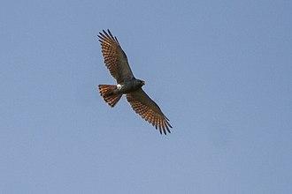 Butastur - Image: Rufous winged Buzzard Cambogia 9032 (15478927715)
