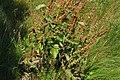 Rumex crispus - whole plant, leaves, seedhead (18875472578).jpg