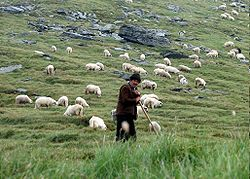 Shepherd with his sheep in Făgăraş Mountains, Romania.