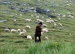 Herde – Wikipedia | {Herde 3}