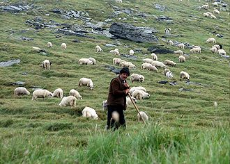Shepherd - Shepherd with grazing sheep in Făgăraș Mountains, Romania