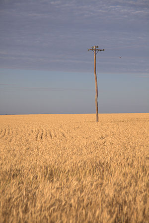 Kingaroy - A wheat field in the Kingaroy region.