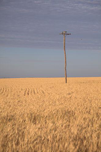 Kingaroy - A wheat field in the Kingaroy region.