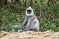 Südlicher Hanuman-Langur (25786662011).jpg