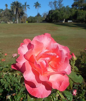 "Mission Park, Santa Barbara - ""Color Magic"" rose (introduced in 1978)"