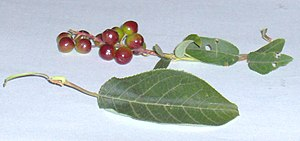 Prunus virginiana - Leaf of Saskatchewan plant