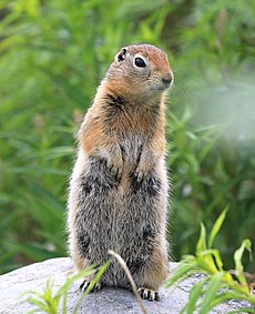SQUIRREL, ARCTIC GROUND (Spermophilus parryii) (6-25-2016) thirteen-mile hill, 13 miles west of paxson, ak (29011869156).jpg