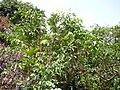 Saba senegalensis 0007.jpg