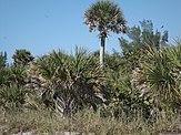 Sabal palmetto - Wikipedia