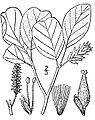 Salix vestita(01).jpg