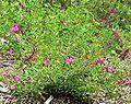 Salvia greggii Coronado Pink 1.jpg