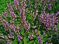 Salvia officinalis 001