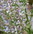 Salvia sclarea 1642.jpg