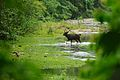 Sambar male, Rusa unicolor crossing a river in Huai Kha Khaeng (20806161862).jpg