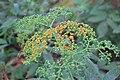 Sambucus chinensis in Wuyishan Chengcun 2012.08.24 08-32-17.jpg