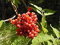 Sambucus racemosa OM2.JPG