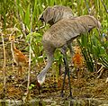 Sandhill Crane Family at Lake Woodruff - Flickr - Andrea Westmoreland.jpg