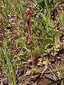 Saxifraga granulata 2021-04-14 5646.jpg