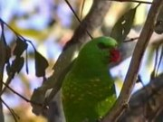 File:Scaly-breasted Lorikeet pikedale.ogv