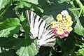 Scarce swallowtail (MakGi) (35104389384).jpg