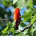 Scarlet Tanager (4609158669).jpg