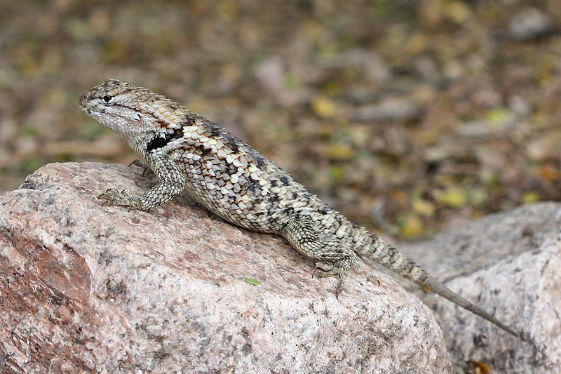 Lizard Breeding Made Easy The Live Bearing Swifts Or Spiny Lizards