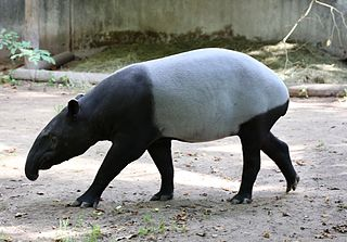 Malayan tapir largest of the five species of tapir and the only one outside of Central or South America