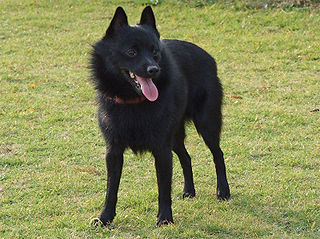 Schipperke Dog breed