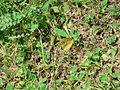 Schmetterl-am-Klee.jpg