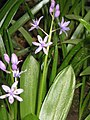 Scilla lilio-hyacinthus02.JPG